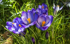 Picture purple, spring, crocuses