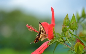 Picture flower, red, butterfly, swallowtail, hibiscus