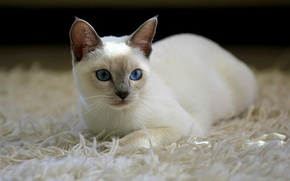 Picture cat, cat, carpet, white