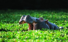 Picture vegetation, bathing, pond, or the hippopotamus (Hippopotamus amphibius), Common Hippo