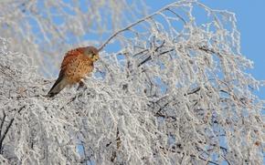 Picture winter, snow, tree, bird, tail, Kestrel, the family of Falcon, Kestrel
