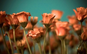 Picture flowers, background, widescreen, Wallpaper, stem, wallpaper, flowers, orange, widescreen, background, full screen, HD wallpapers, widescreen, …
