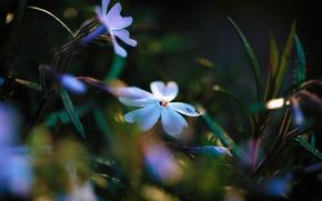Wallpaper blue and white, flowers, Phlox, light, lighting, glare, leaves