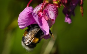 Wallpaper flower, macro, nature, bumblebee
