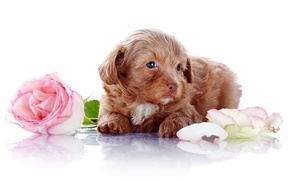 Picture flowers, rose, dog, petals