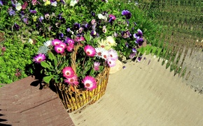 Picture greens, summer, leaves, flowers, basket, Pansy, flowerbed, mesembryanthemum