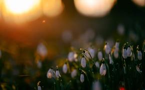 Picture glare, spring, snowdrops