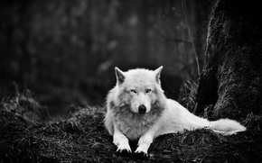 Picture forest, white, eyes, darkness, animal, wolf