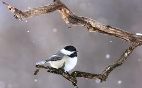 Picture snow, bird, branch, bird, branch, snowing