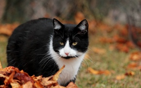Picture autumn, cat, leaves, cats, animal, cats
