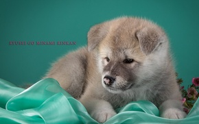 Picture puppy, beige, Japanese Akita