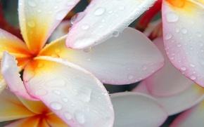 Picture water, drops, macro, flowers, petals, plumeria, frangipani