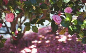 Picture leaves, flowers, petals, pink, Camellia