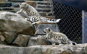 Picture stones, the game, kittens, snow leopard, aviary
