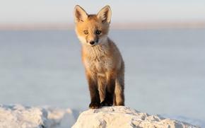 Picture fox, baby, wildlife, red fox, baby fox