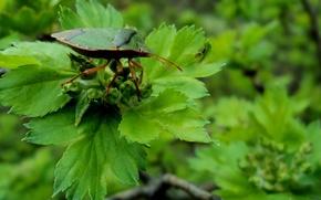 Picture beetle, branch, Vesta