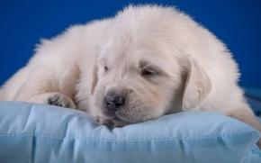 Picture baby, cute, puppy, pillow, Golden Retriever