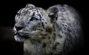 Picture cat, look, background, snow leopard