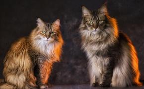 Wallpaper pair, Kota, cats