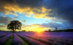 Picture field, the sky, the sun, clouds, sunset, tree, lavender