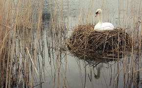Picture nature, lake, Swan