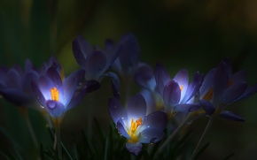 Picture drops, blur, Crocuses