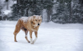 Picture winter, snow, dog, red, Blizzard