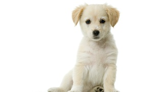 Picture white, puppy, white background, sitting
