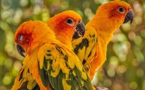 Picture birds, parrots, trio, Sun conure
