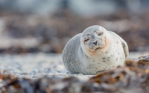 Wallpaper nature, Seal, Phoca vitulina