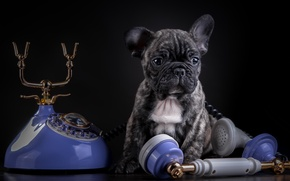 Picture French bulldog, phone, marble, puppy