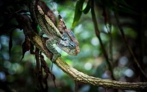 Picture macro, chameleon, background