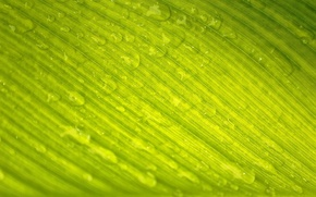 Picture drops, macro, nature, sheet, green, Rosa, veins