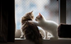 Picture pair, kittens, fluffy, nyashki