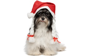 Picture language, animals, red, holiday, new year, dog, white background, braids, bows, Maiden, funny, cap, masquerade, …