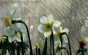 Wallpaper rain, mood, daffodils