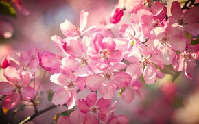 Picture macro, cherry, branch, spring, flowering, flowers, bokeh