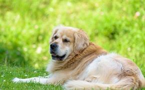 Picture look, each, dog, Golden Retriever