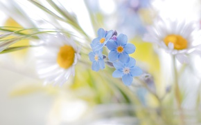 Picture flowers, daisies, bokeh