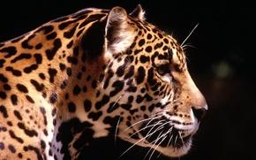 Wallpaper leopard, the sun, predator