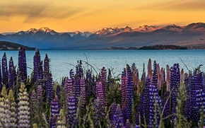Picture the sky, flowers, mountains, New Zealand, Lupins, South island, lake Tekapo