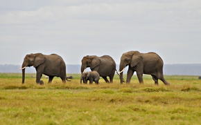 Wallpaper the sky, grass, hill, elephants, migration