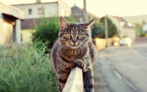 Picture road, look, the fence, wool, Cat