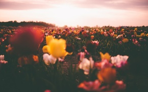 Picture field, the sky, the sun, clouds, flowers, tulips, field of tulips, bokeh