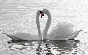 Picture water, love, birds, white, swans