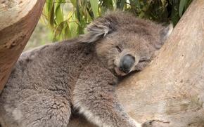 Wallpaper tree, bear, sleeping, Koala, bamboo, leaves