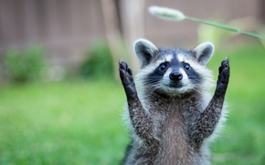 Picture nature, animal, paws, raccoon