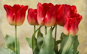 Picture buds, texture, tulips