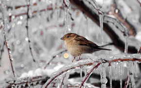 Wallpaper Sparrow, winter, frost, icicles, branches, ice