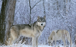 Picture winter, look, snow, Wolf, wolves